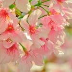 cherry-blossoms-713951_960_720