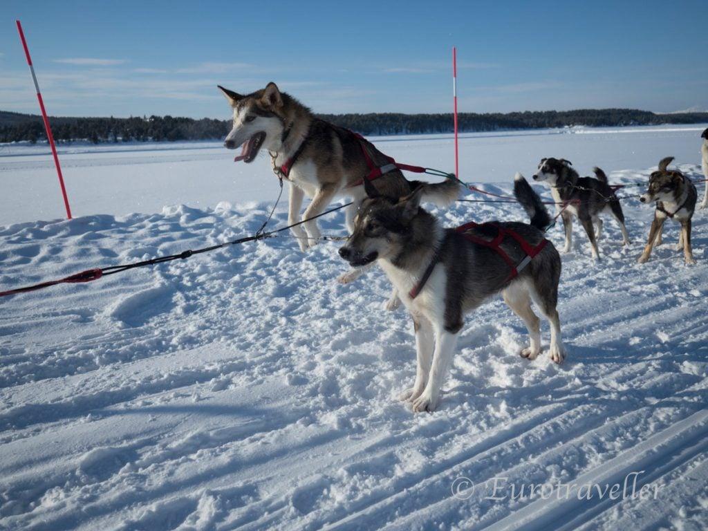 スウェーデンで犬ぞり
